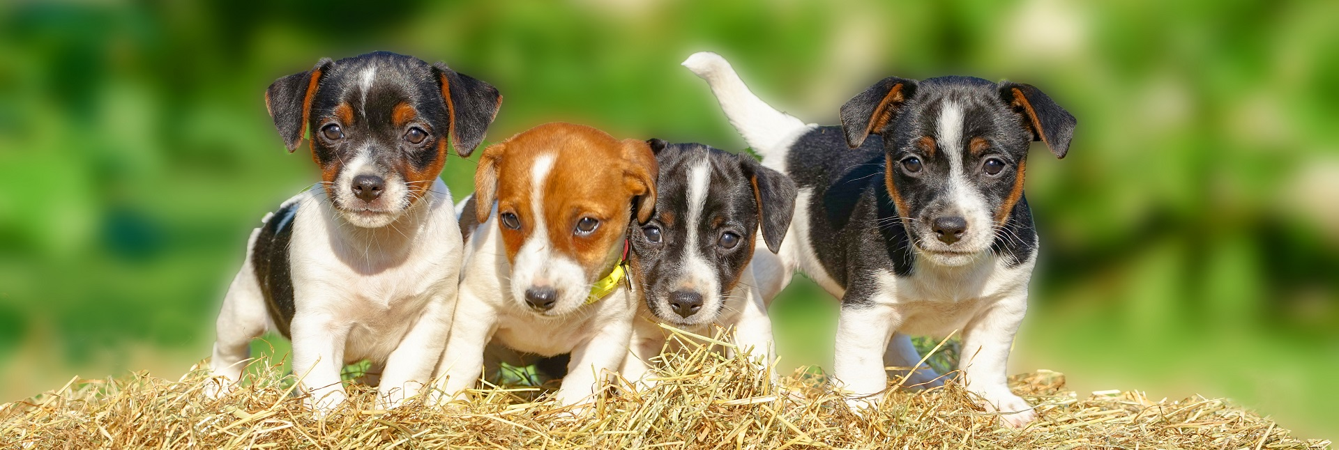 Vier kleine Hundewelpen auf einem Strohballen, Banner